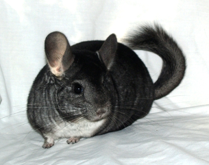 A grey chinchilla