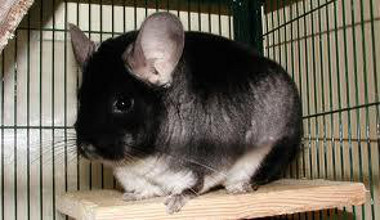A black Velvet Chinchilla